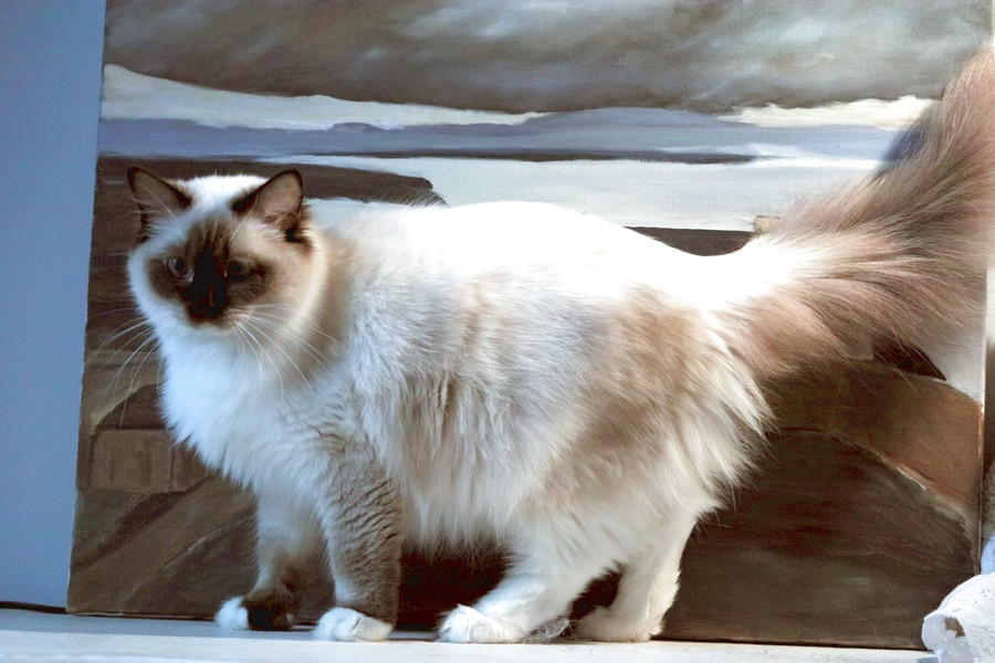Victoria-secret<br>seal point mitted