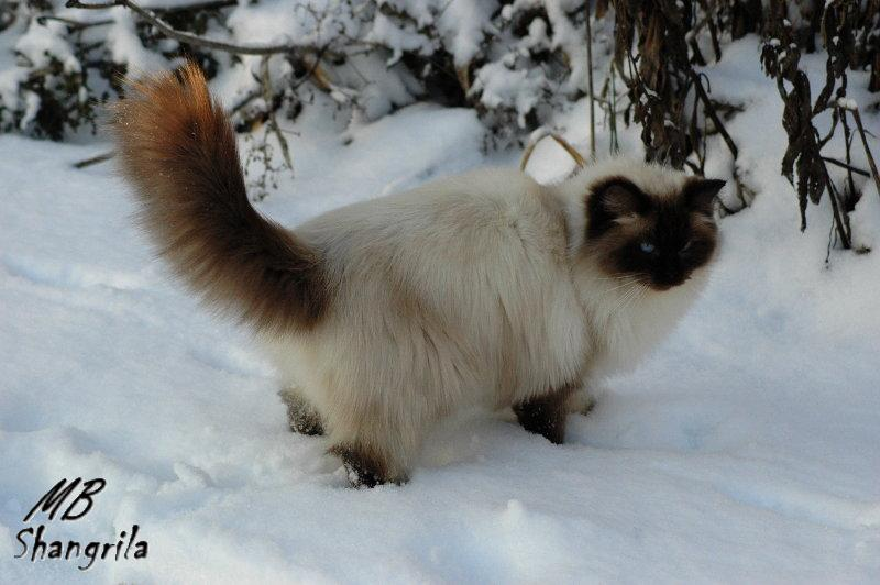 diane seal point shangrila ragdoll