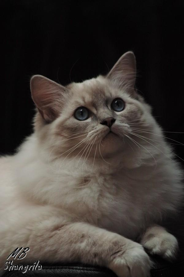 Venus<br>bleue tabby point mitted