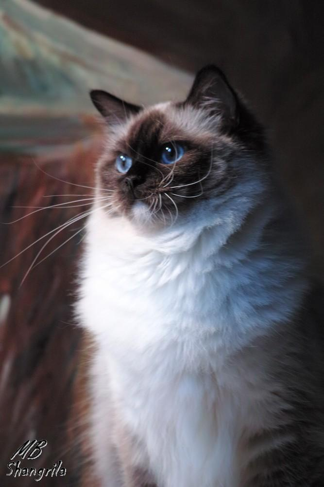Leonie (dite Mélodie)<br>seal point mitted