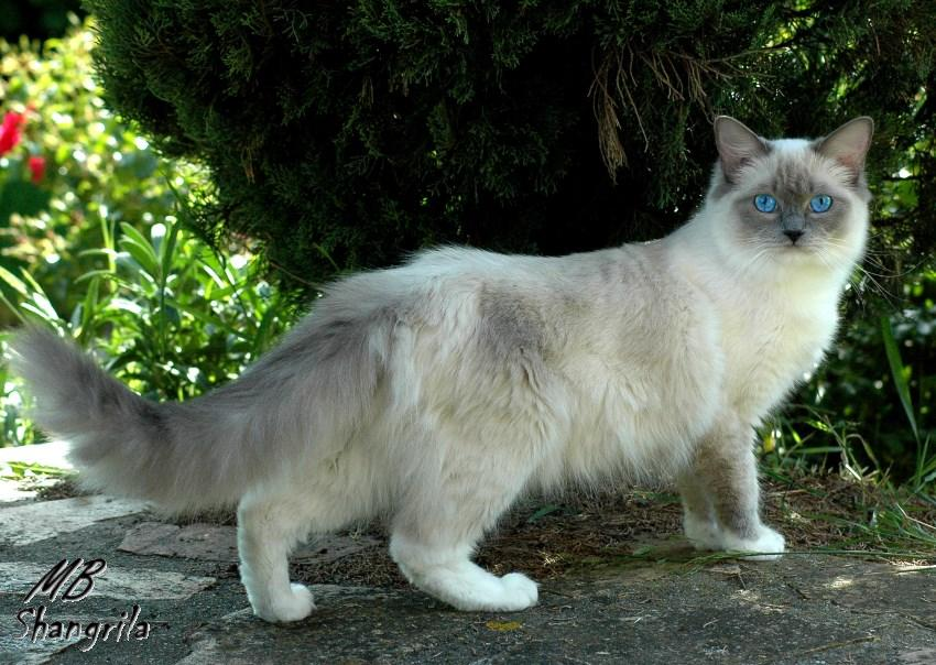 Isolde<br>bleue point mitted